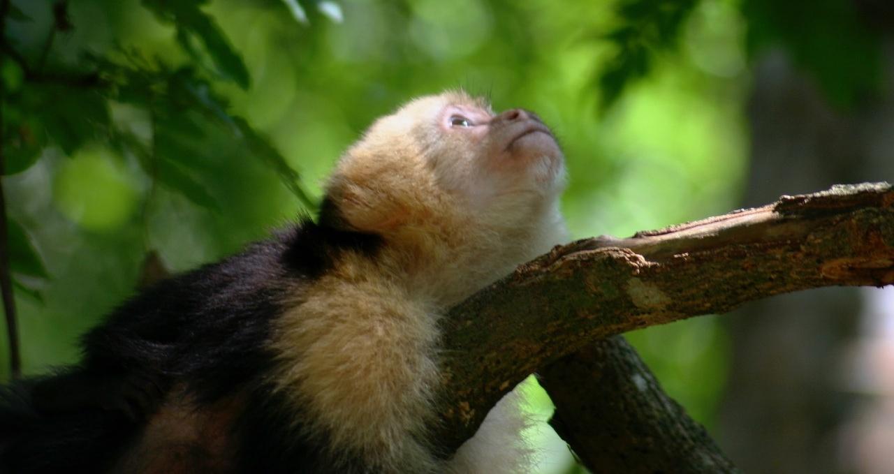 Monkey in Roatán