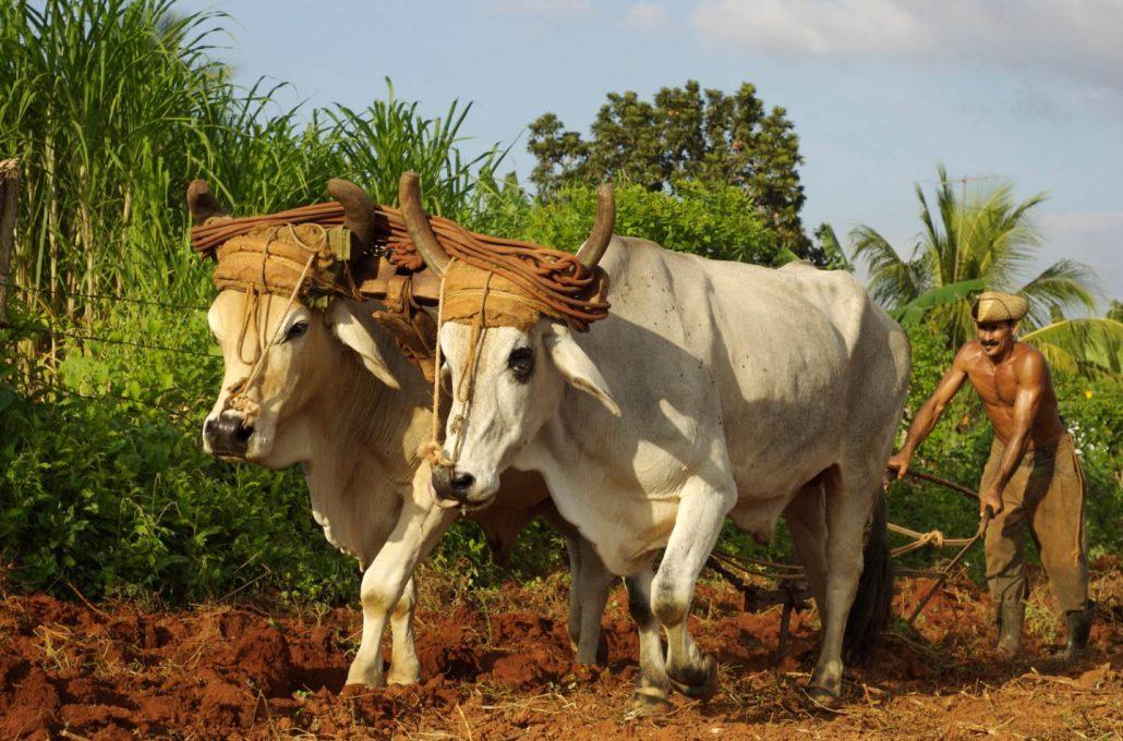 Two Cows Man Plowing Field