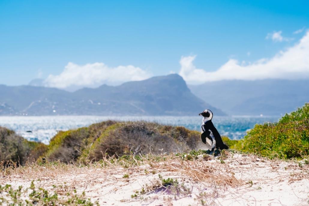 Penguin in Cape Town